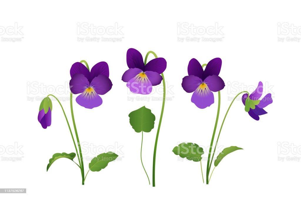 Viola Flower Violet Pansies With Leaves Vector Illustration Isolated On White Background Stock Illustration Download Image Now Istock