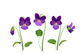 Viola Flower, violet pansies with leaves,\nVector illustration isolated on white background