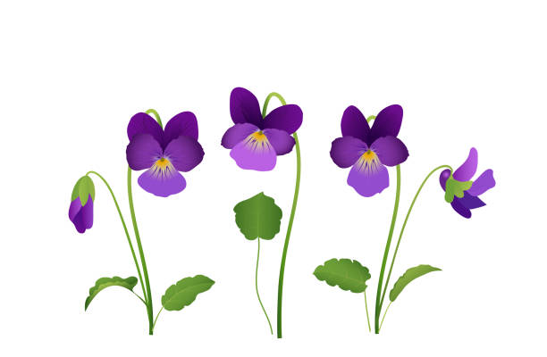 Viola Flower, violet pansies with leaves, Vector illustration isolated on white background Viola Flower, violet pansies with leaves, Vector illustration isolated on white background violet flower stock illustrations