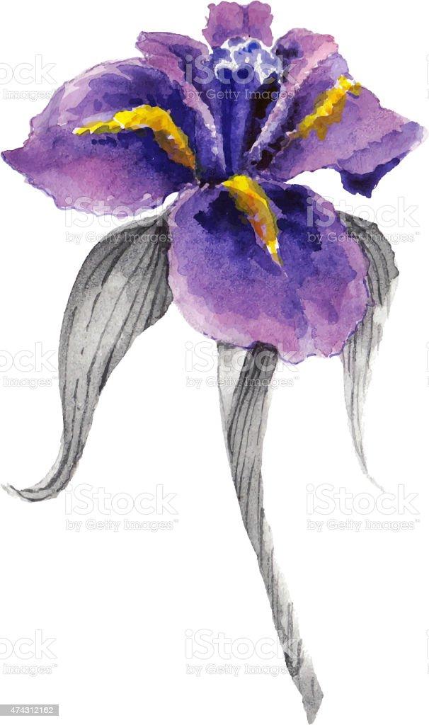 Violet Watercolor Iris Flower Stock Vector Art 474312162 Istock