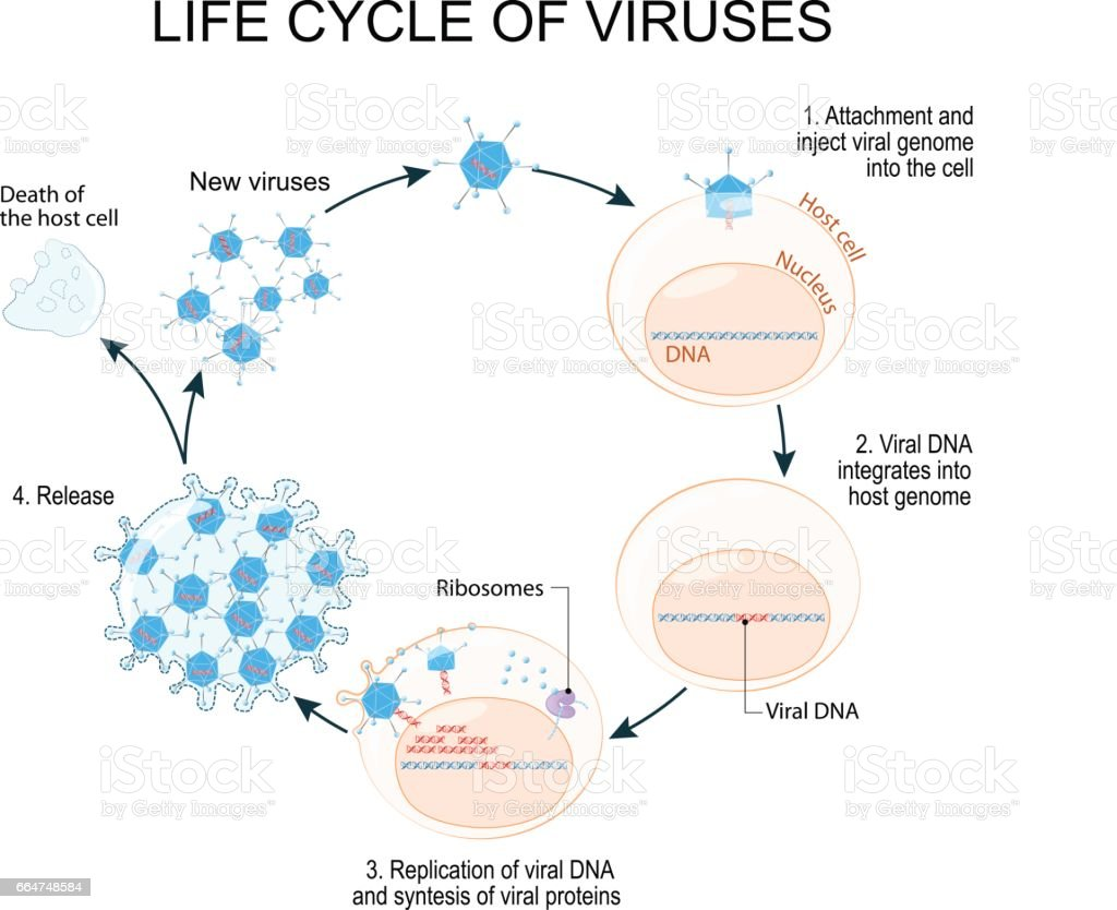 Viral replication diagram wiring diagram electricity basics 101 virus replication cycle stock vector art more images of aids rh istockphoto com viral replication cycle diagram 10 viral replication steps ccuart Choice Image