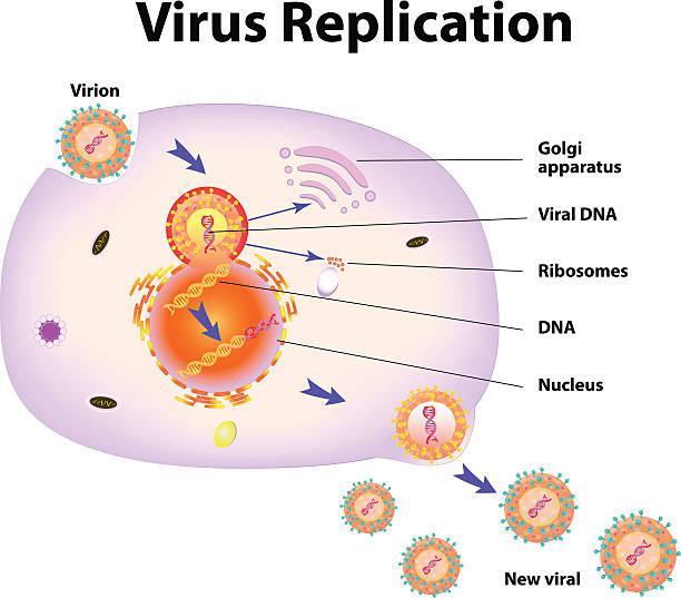 Virus Replication. Vector illustration Scheme of virus replication cycle. Vector illustration glycoprotein stock illustrations