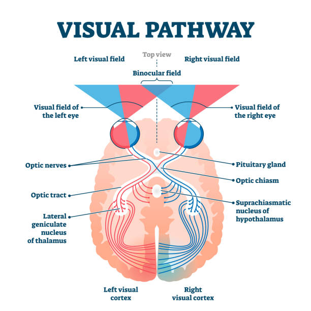 visual pathway medical vector illustration diagram - сетчатка stock illustrations