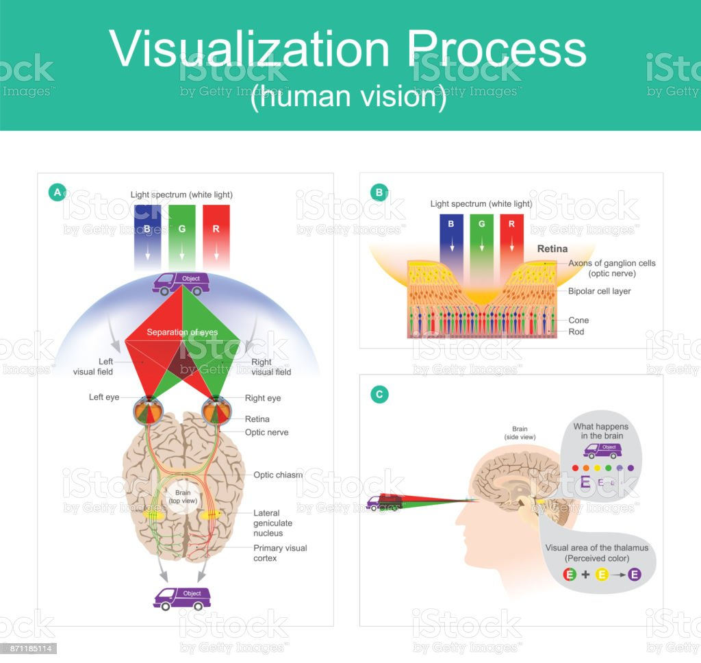 Visualization Process human vision. Visualization Process is the ability to interpret the surrounding environment using light in the visible spectrum reflected the objects in the environment by human brain. Anatomy stock vector