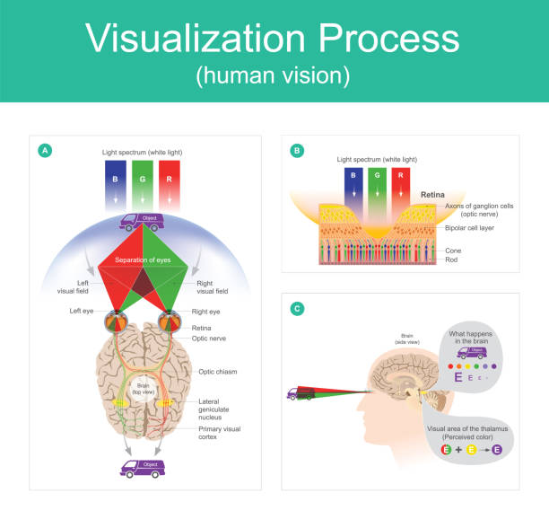 visualization process human vision. - сетчатка stock illustrations