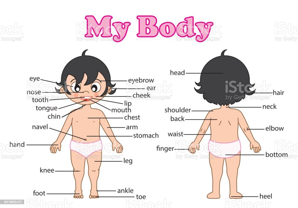 Vocabulary Part Of Body Stock Vector Art More Images Of Anatomy