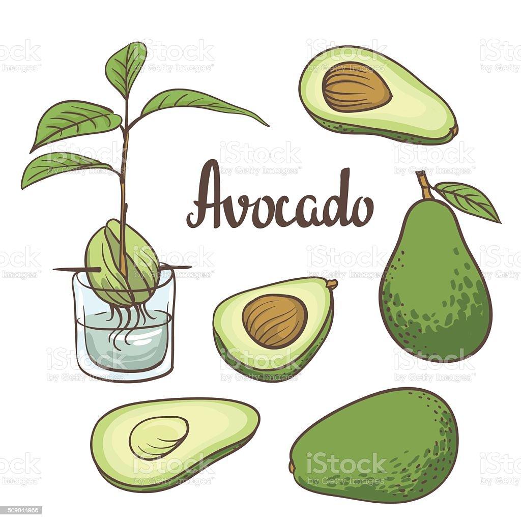 vocado, half of avocado, avocado seed, vector art illustration