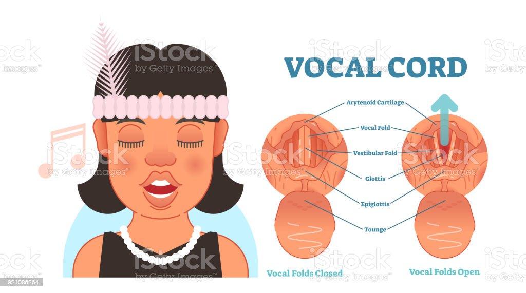 Ilustración de Cuerda Vocal Anatomía Ilustración Diagrama Del Vector ...