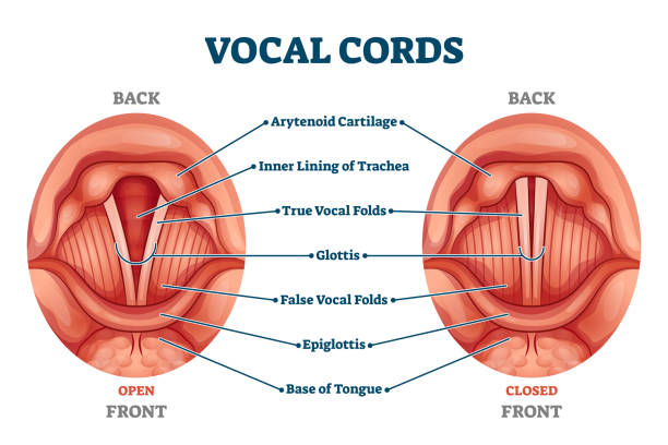 Vocal cords labeled anatomical and medical structure and location scheme vector art illustration