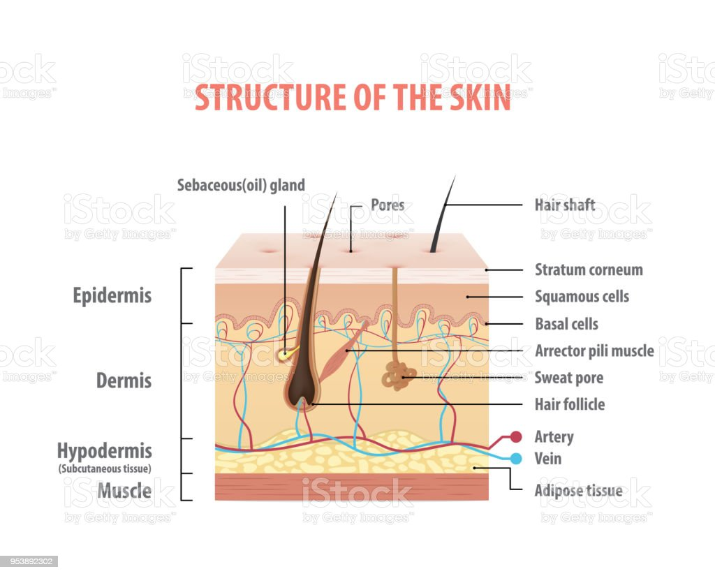 medical questions on the epidermis Law and ethics medical which of the following has the most potential to treat the widest variety of diseases how thick is the epidermis as compared to the dermis as compared to the subcutaneous layer however, on the back of his forearm, both the dermis and epidermis have been completely.