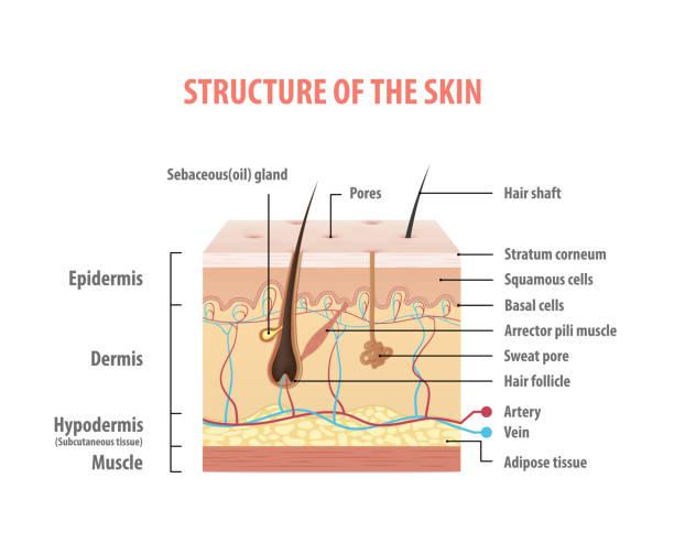 stockillustraties, clipart, cartoons en iconen met vol.2 structuur van de huid info grafische illustratie vector op witte achtergrond. beauty concept. - menselijke huid