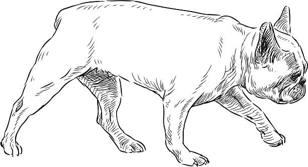 walking bulldog vector art illustration