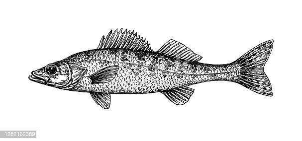 Walleye or yellow pike. Freshwater fish. Ink sketch isolated on white background. Hand drawn vector illustration. Retro style.