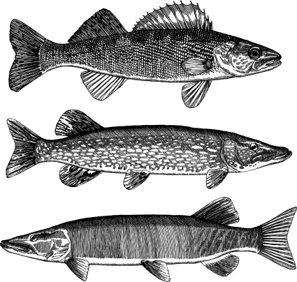 Walleye, Pike and Muskellunge
