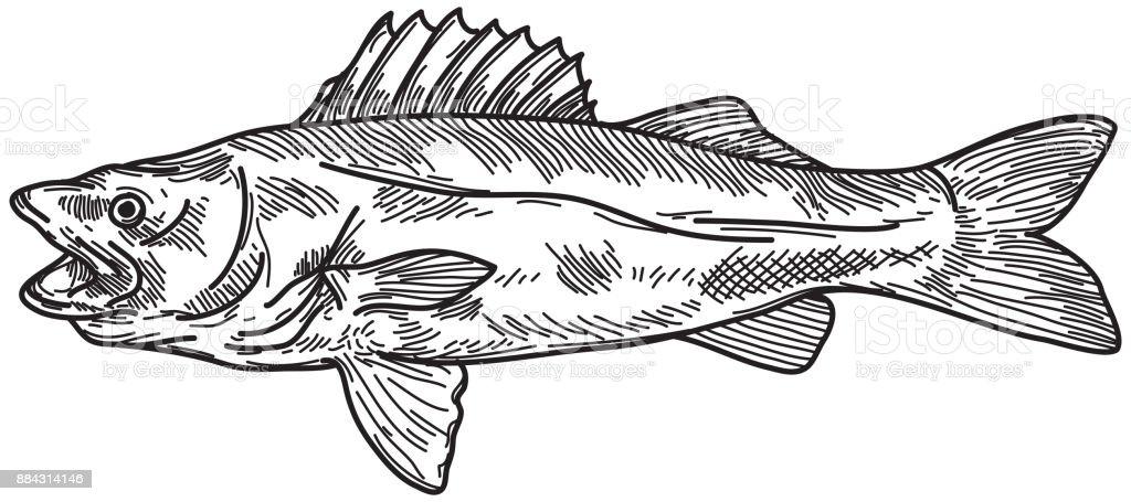 Walleye (Pickerel) vector art illustration