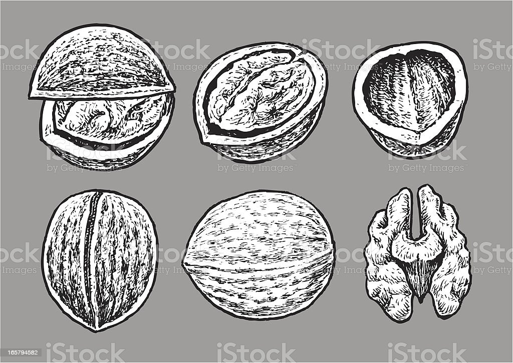 Walnut royalty-free walnut stock vector art & more images of allergy