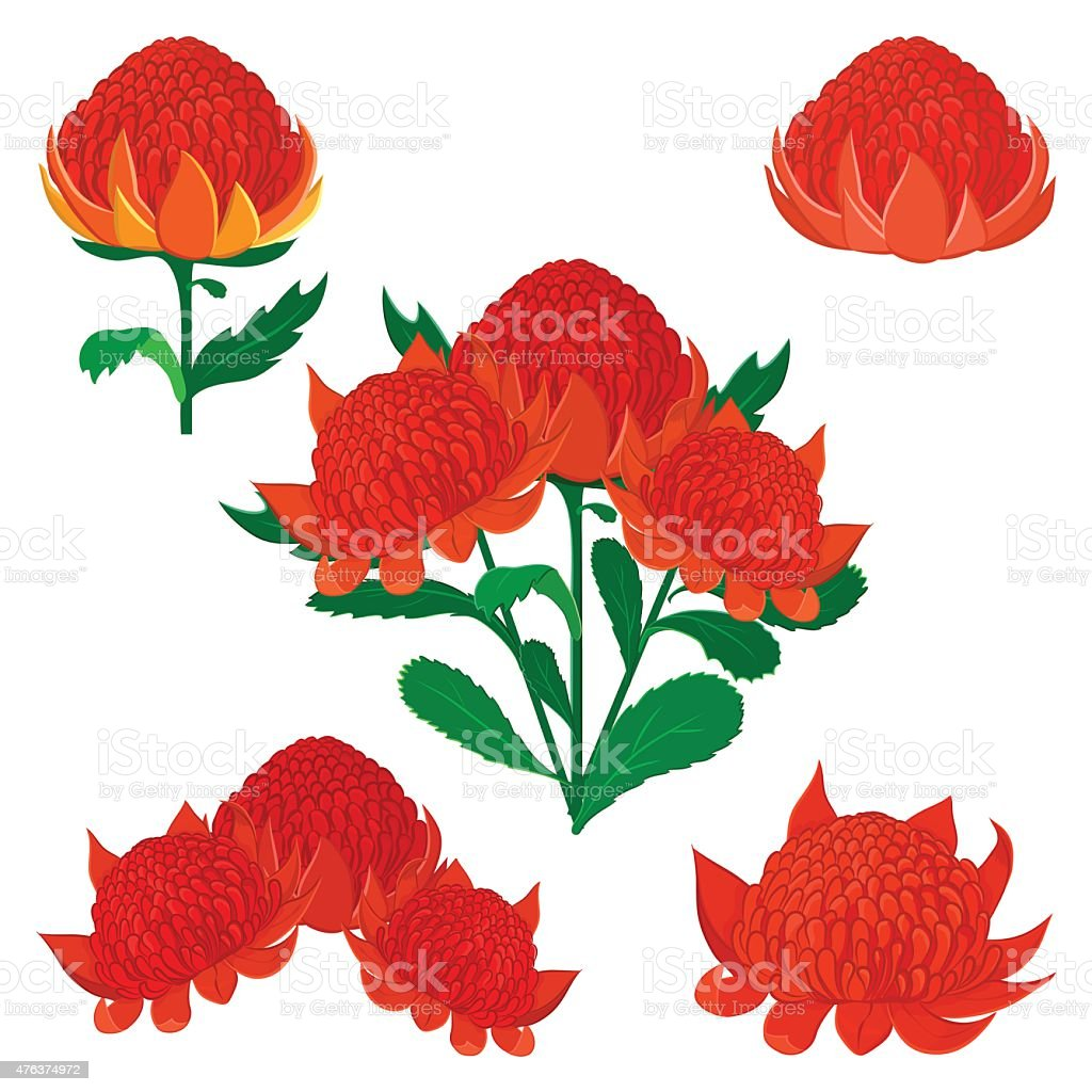 Waratah or Telopea, Australian native bush flower. Set of flowers vector art illustration