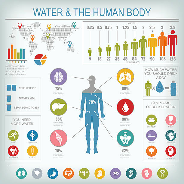 Water and human body infographic vector art illustration