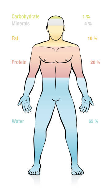 Water, fat, protein, minerals, carbohydrate and percent of mass information. Composition of the main molecules that compose a normal weight man. Illustration of the basic components of the human body. Water, fat, protein, minerals, carbohydrate and percent of mass information. Composition of the main molecules that compose a normal weight man. Illustration of the basic components of the human body. carbohydrate biological molecule stock illustrations