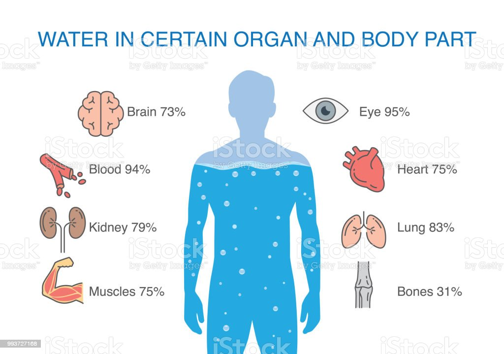 Water In Certain Organ And Body Part Of Human Stock Vector Art