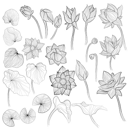 Water lily flowers, blossom bud and leaves outline vector illustration set on white background. Collection of sketch art of lotus elements