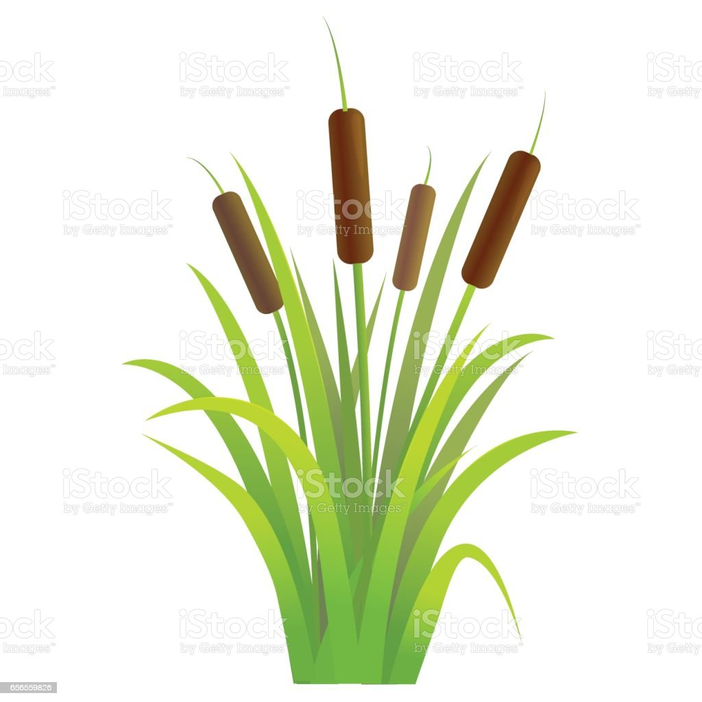 Water Reed Plant Cattails Green Leaf. Vector vector art illustration