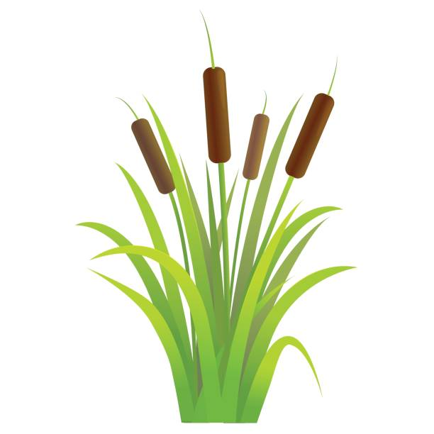 water reed plant cattails green leaf. vector - pond stock illustrations