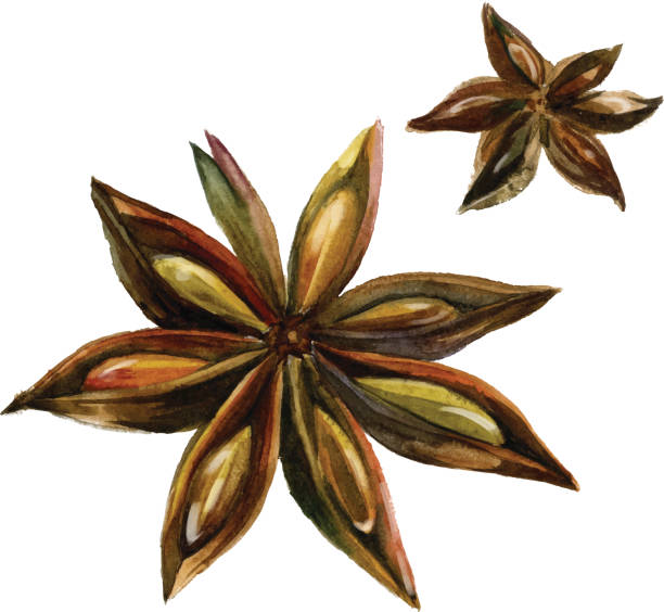 Watercolor anise isolated vector art illustration