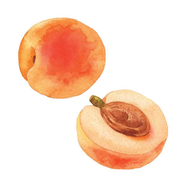 aquarell aprikosen - aprikose stock-grafiken, -clipart, -cartoons und -symbole