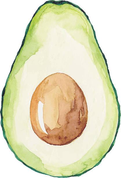 Watercolor Avocado Vector illustration of avocado. avocado stock illustrations