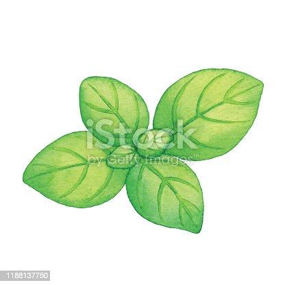 Vector illustration of basil leaves.