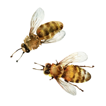 Watercolor bees on white background