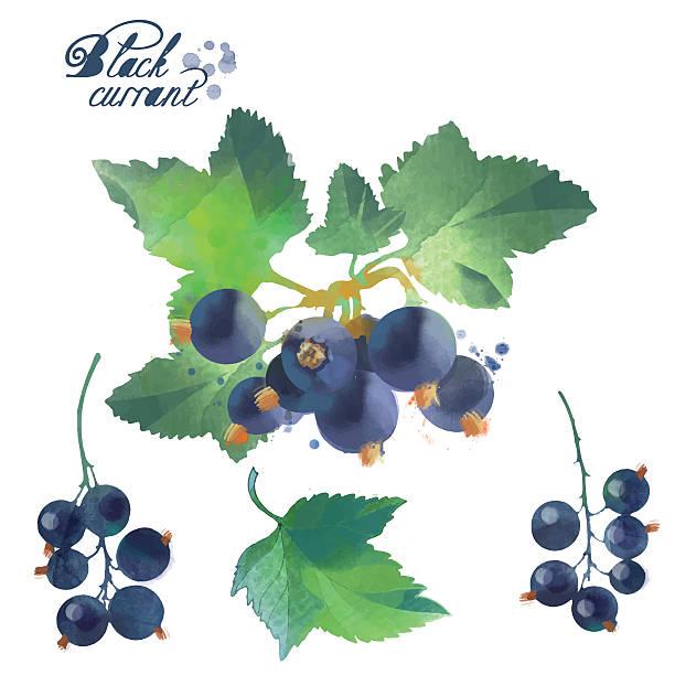 watercolor berries black currant watercolor berries black currant black currant stock illustrations