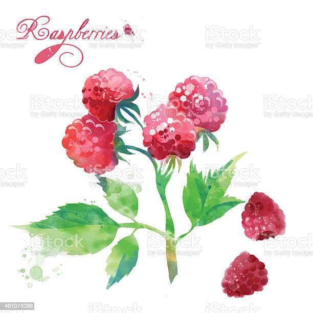 Watercolor berries raspberries vector id491074286?b=1&k=6&m=491074286&s=612x612&h=hog5dr zpv348dd21g1hib5rxenbxfhfq9p1pcryxy4=
