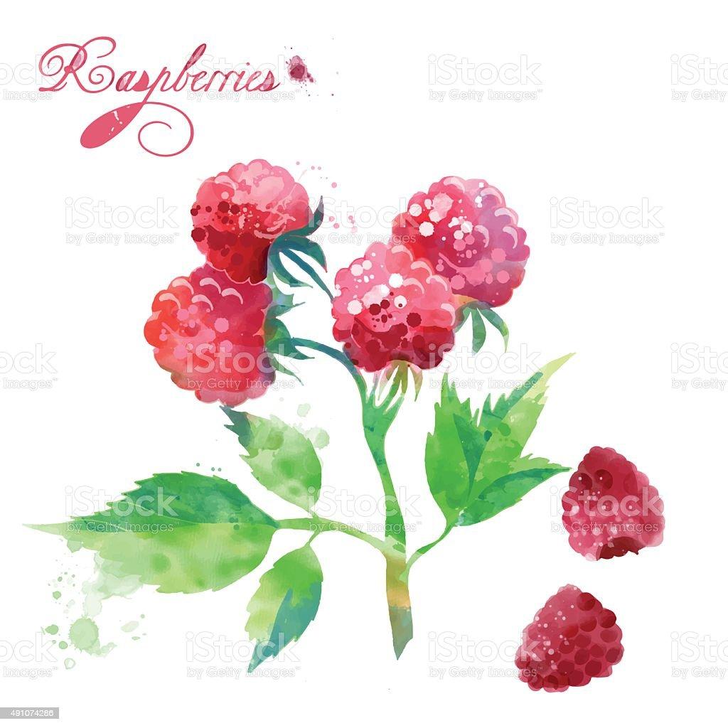 watercolor berries raspberries vector art illustration