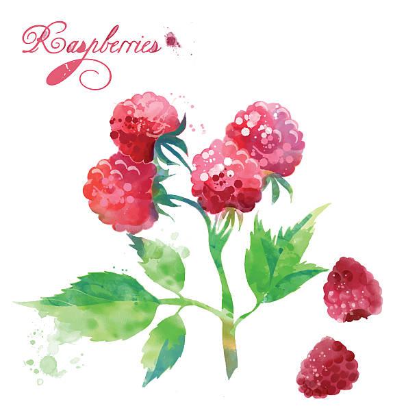 bildbanksillustrationer, clip art samt tecknat material och ikoner med watercolor berries raspberries - hallon