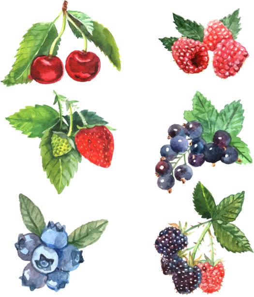 watercolor berry set Watercolor berry set with cherry raspberry strawberry isolated vector illustration berry fruit stock illustrations
