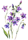 Watercolor Botanical Illustration of Campanula. Bluebell Flower Collection in Vintage Style Isolated on White Background. Purple Floral Decoration.