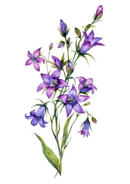 Watercolor Bluebell Botanical Illustration vector art illustration