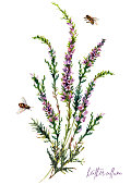 Watercolor Illustration of Heather Flowers Bouquet Isolated on White Background. Vintage Botanical Drawing of Calluna Vulgaris. Floral Decoration with Little Purple Wildflowers.