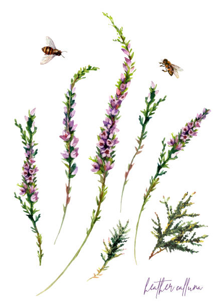 Watercolor Botanical Illustration of Heather Flowers Bouquet vector art illustration