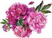 Watercolor bouquet made of pink peonies, buds and green leaves isolated on white background. Botanical illustration in trendy vintage style. Floral decoration in shabby chic style.