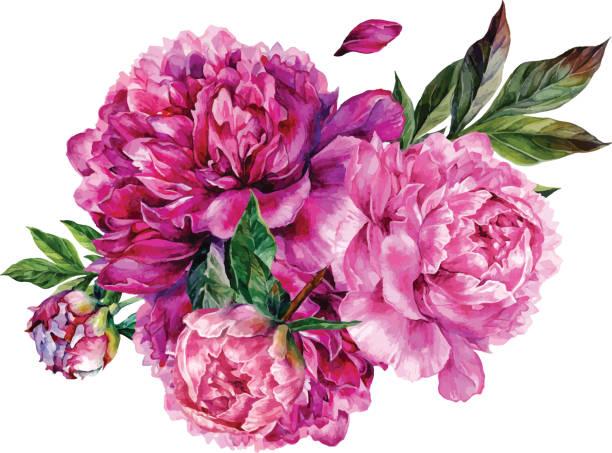 illustrazioni stock, clip art, cartoni animati e icone di tendenza di watercolor bouquet of pink peonies. - magenta