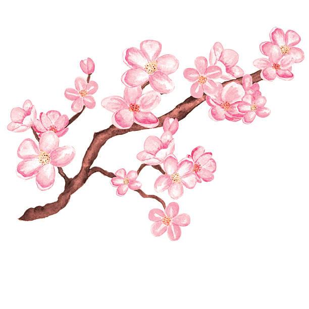 Watercolor branch blossom sakura, cherry tree with flowers Watercolor branch blossom sakura, cherry tree with flowers isolated on a white background. Hand painting on paper plum blossom stock illustrations