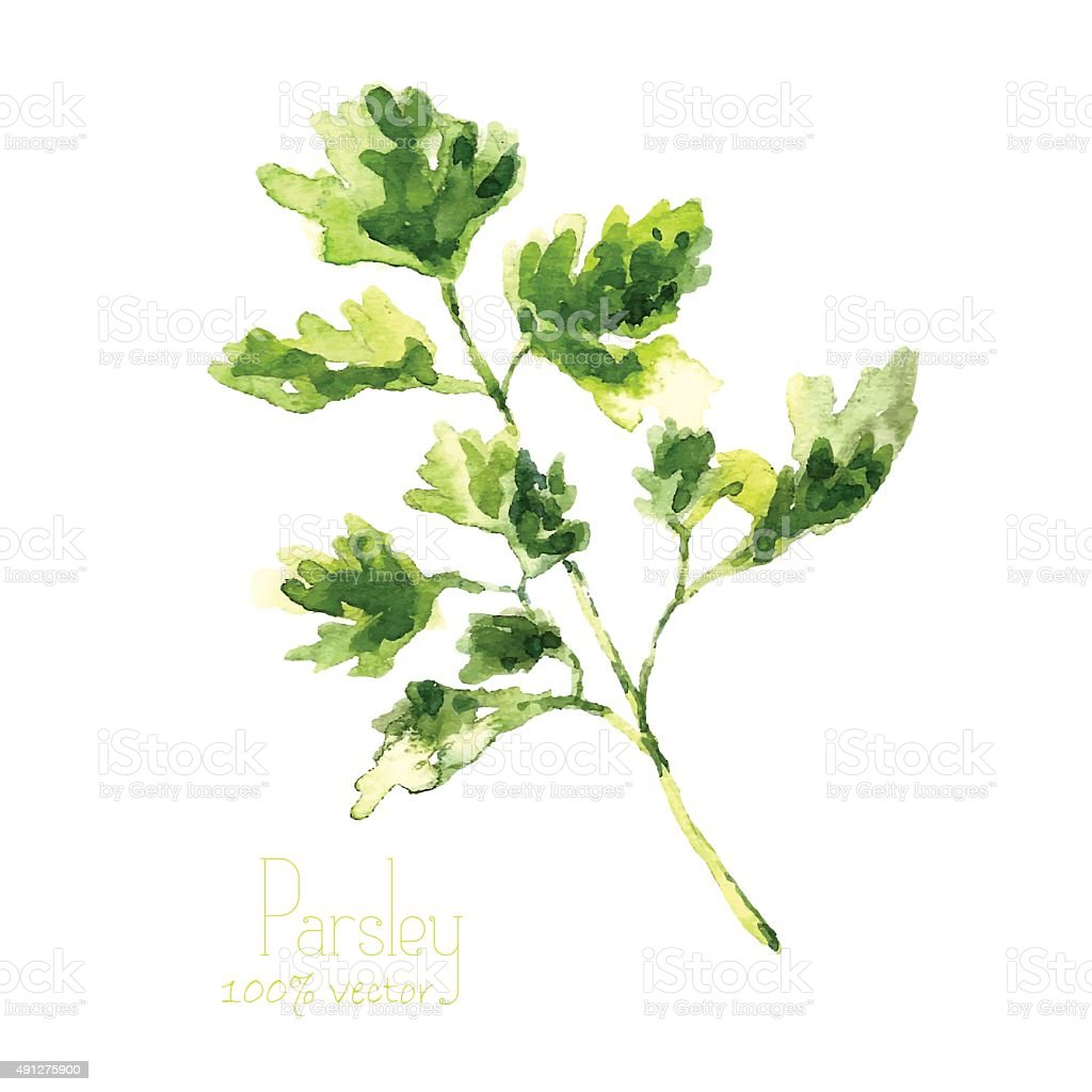 Watercolor branch of parsley. vector art illustration