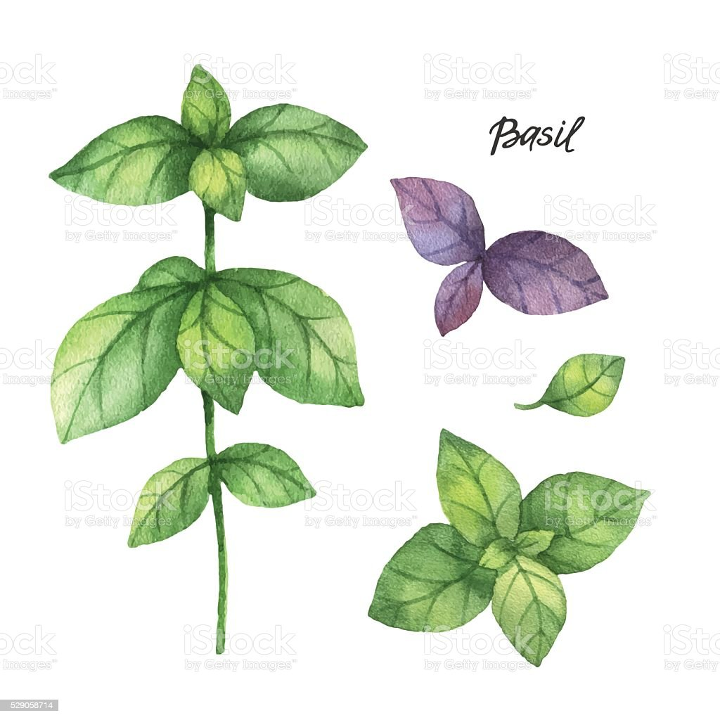 Watercolor branches and leaves of basil. vector art illustration