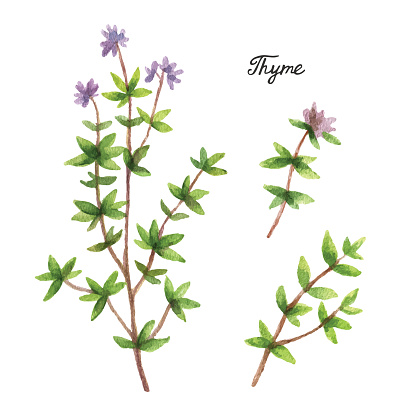 Watercolor Branches And Leaves Of Thyme Stock Illustration - Download Image Now