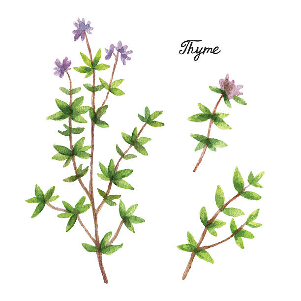 Watercolor branches and leaves of thyme. Watercolor branches and leaves of thyme. Eco products isolated on white background. Watercolor vector illustration of culinary herbs and spices to your menu. thyme stock illustrations