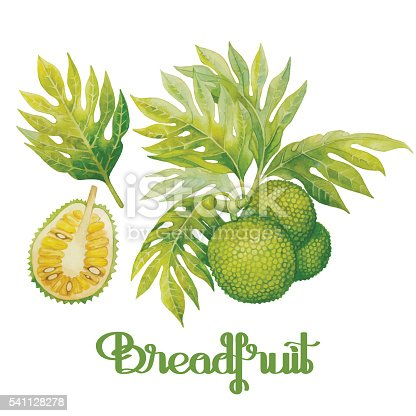 istock Watercolor breadfruit set 541128278