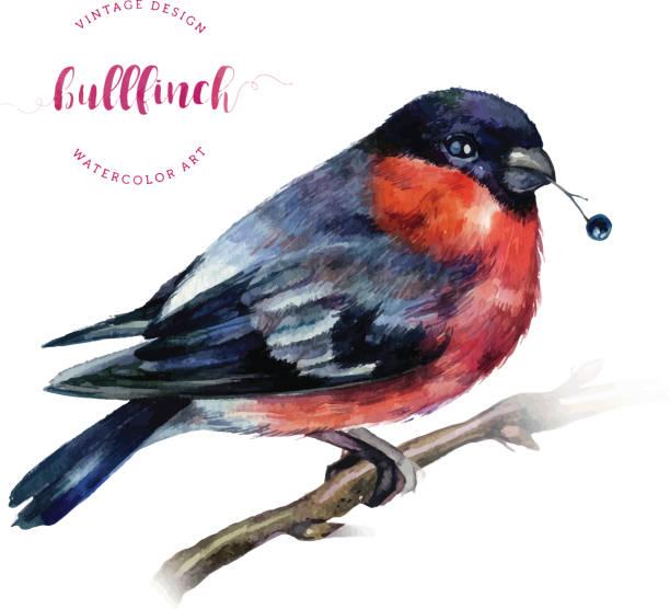 watercolor bullfinch on a branch. - dompfaff stock-grafiken, -clipart, -cartoons und -symbole